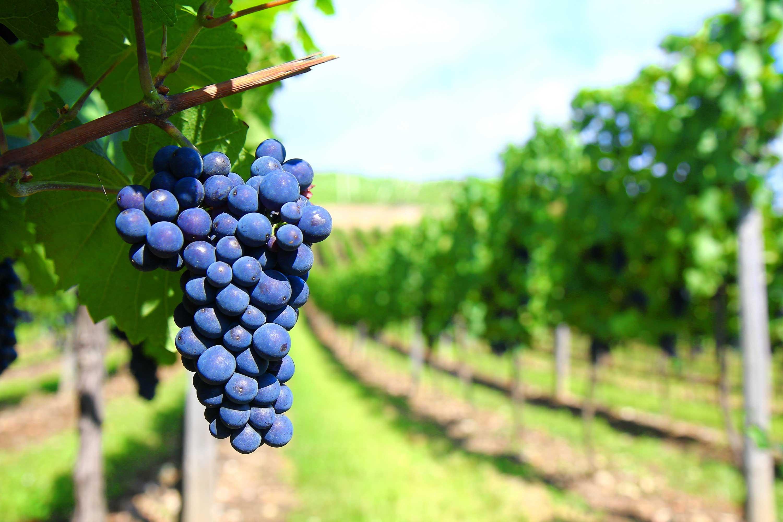 Vin-grappe-2
